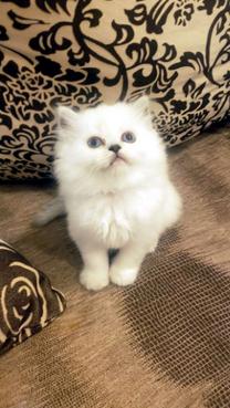 Chinchilla female kitten