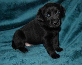 Cute Labrador Puppies for sale