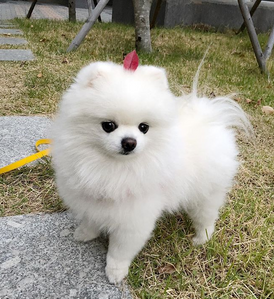 Cute Pomeranian Puppy for Adoption
