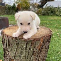 Cute White German Shepherd Puppies