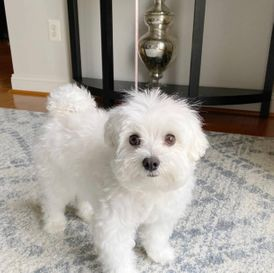 Cute maltese Puppy For Adoption