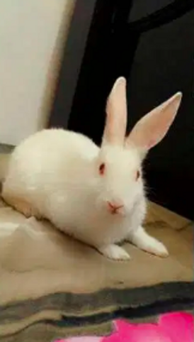 Female rabbit white colour