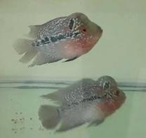 Flowerhorn male