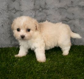 Fluffy Havanese Puppies ready for sale