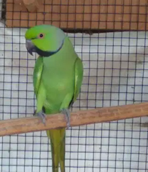 For sale African ring neck parrot