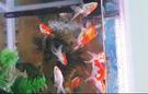 For sale Aquarium fish tank with goldfish 2