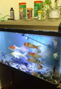 For sale Aquarium tank with big koi fish