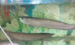 For sale Big silver arowana 3 pcs