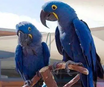 For sale Blue scarlet Macaw parrots available