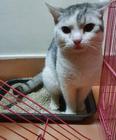 For sale British x Turkish cat 1