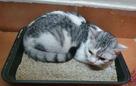 For sale British x Turkish cat 2