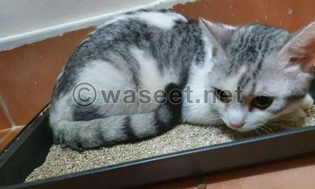 For sale British x Turkish cat