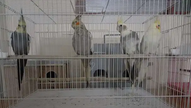 For sale Cockatiel birds