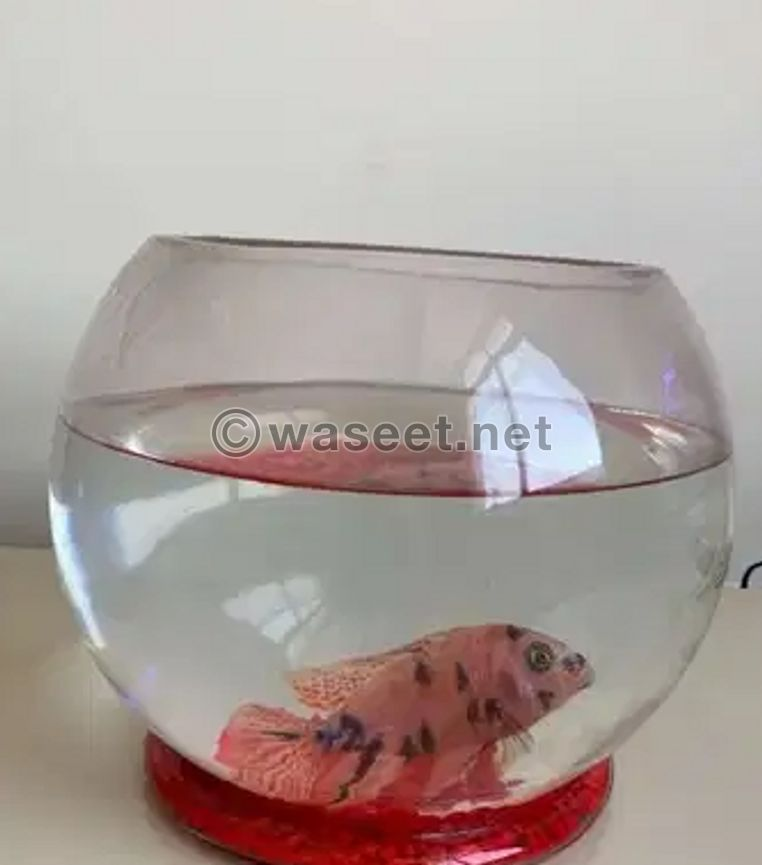 For sale Fish with Glass Bowl