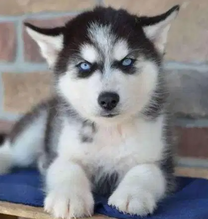 For sale Husky Puppies available