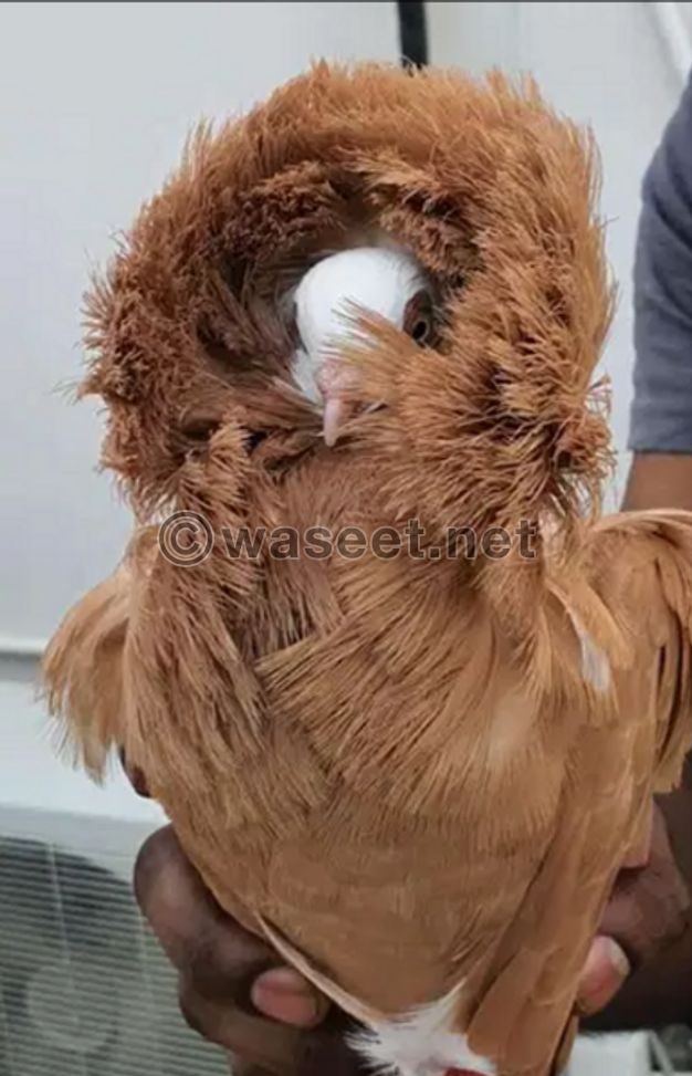 For sale Jacobin pigeon
