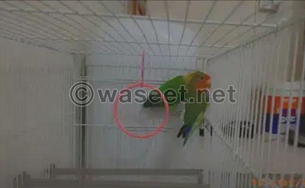For sale Love bird