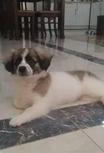 For sale Maltese and American eskimo mix puppy