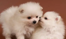 For sale Playful and friendly teacup Pomeranian pu...