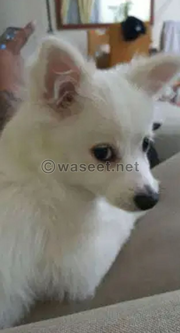 For sale Puppy Japanese Spitz