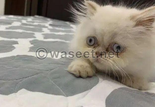 For sale Pure Shirazi Kitten