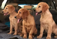For sale Pure golden retriever puppy