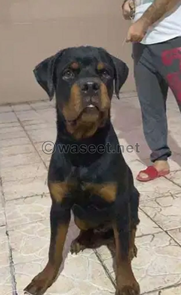 For sale Rottweiler