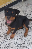 For sale Rottweiler puppy
