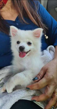 For sale Spitz female 1