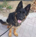 German shepherd male 1