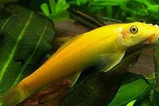 Gold algae eater for sale