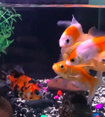 Goldfish and comet goldfish for sale