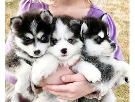 Gorgeous Pomsky Puppies