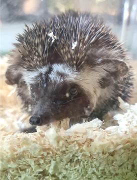 Hedgehog for sale or exchange