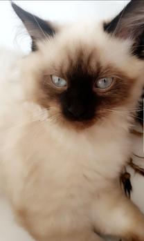 Himalayan cat Himalayan