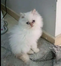 Himalayan nearly 4 months old kittens for sale.