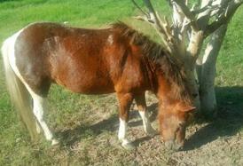 Horse Female pregnant
