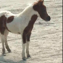 Horse bony Female baby