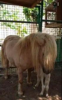 Horse bony balamino with Female baby