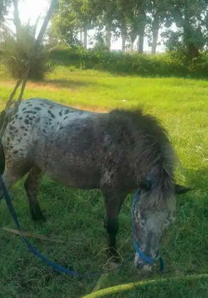 Horse pony for sale