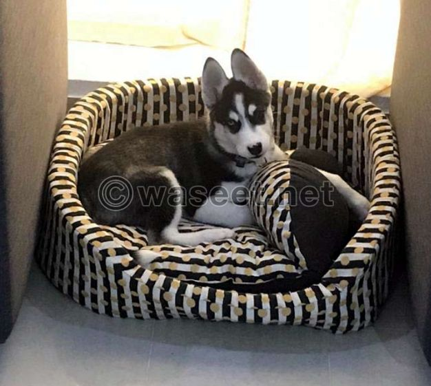 Husky Puppy male- 3 month old for sale
