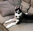 Husky Puppy male- 3 month old for sale 1