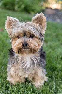I want buy Yorkie FEMALE GOOD PRICE