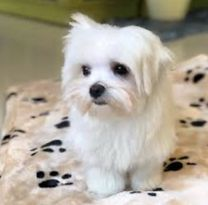 I want buy or exchange MALTESE FEMALE
