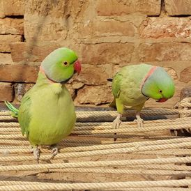 India ringing birds for sale