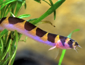 Kuchli Loach for sale