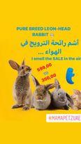 ليون رئيس سلالة نقية أرنب بيع خاص قبل 599 الآن 350 1