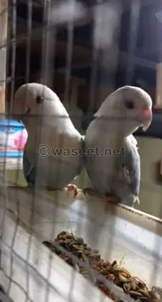 Love birds pair for sale