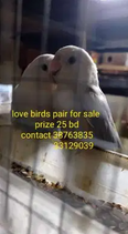 Love birds pair for sale 2