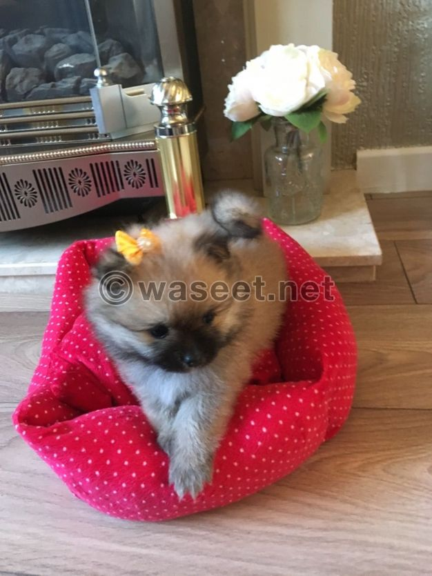Male and Female Pomerania puppies for sale
